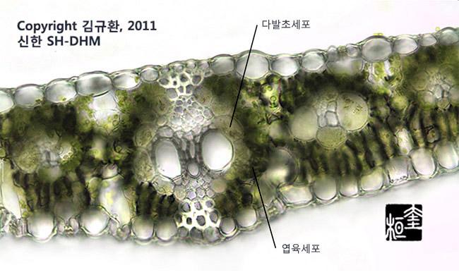 C4식물 - 옥수수잎의 단면  (현미경 관찰)