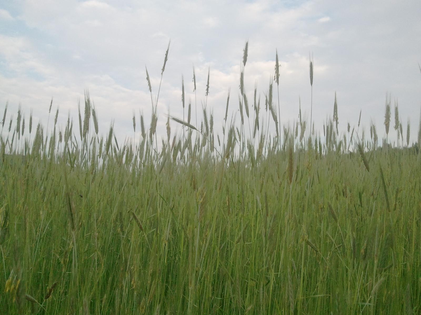 2011.05.23. 유촌리 밀밭