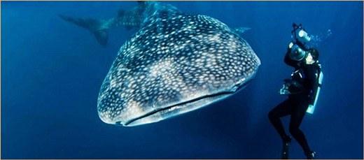 고래상어 포획